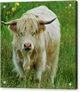 Highland White  Acrylic Print