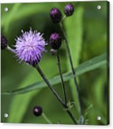 Hill's Thistle Flower And Buds Acrylic Print