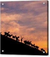 Hillside Elk Acrylic Print
