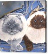 Himalayan Cats  Acrylic Print