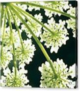 Himalayan Hogweed Cowparsnip Acrylic Print by American School