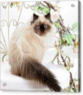 Himalayan Kitten Acrylic Print