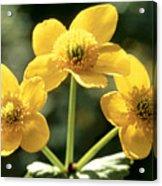 Himalayan Marsh Marigold Acrylic Print