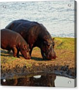 Hippo Mother And Child - Botswana Africa Acrylic Print