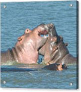 Hippo Playtime Acrylic Print