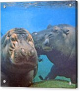 Hippos In Love Acrylic Print