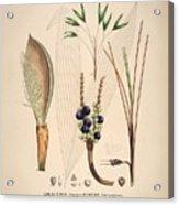 Historia Naturalis Palmarum Acrylic Print