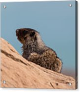 Hoary Marmot On Blue Acrylic Print