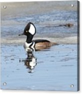 Hodded Merganser With Reflection Acrylic Print