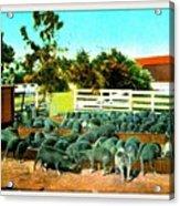 Hog Farm At The Hotel Potter, Santa Barbara Ca, 1905 Acrylic Print