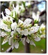 Hog Plum Blossoms Acrylic Print