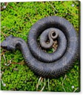 Hognose Spiral Acrylic Print