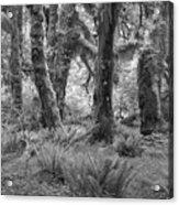 Hoh Rain Forest 3371 Acrylic Print