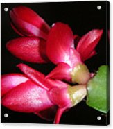 Holiday Cactus - A Close Up Acrylic Print