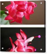 Holiday Cactus - Day And Night Acrylic Print
