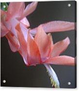 Holiday Cactus - Gliding Acrylic Print