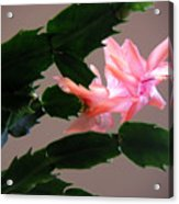 Holiday Cactus - On Wings Acrylic Print