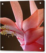 Holiday Cactus - Outreach Acrylic Print