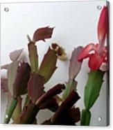 Holiday Cactus 4 Acrylic Print