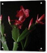 Holiday Cactus Blooms Acrylic Print