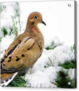 Holiday Dove Acrylic Print