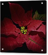 Holiday Poinsettia Acrylic Print