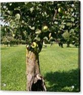 Hollow Apple Tree Acrylic Print