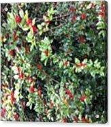 Holly Berries Acrylic Print