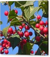 Holly Berries On A Wintry Day I Acrylic Print