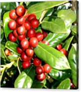 Holly In Summer Acrylic Print