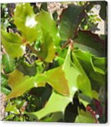 Holly Leaves Acrylic Print