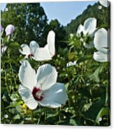 Hollyhock At Sunrise Acrylic Print