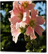 Hollyhocks 1 2017 Acrylic Print