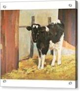 Holstein Calf Acrylic Print