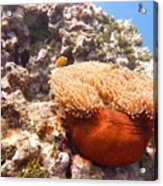 Home Of The Clown Fish 4 Acrylic Print