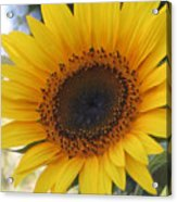 Homegrown Sunflower Acrylic Print