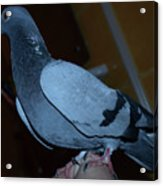 Homing Pigeon Acrylic Print
