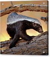 Honey Badger  Acrylic Print