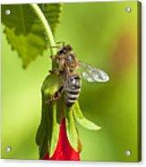Honey Bee 11 Acrylic Print