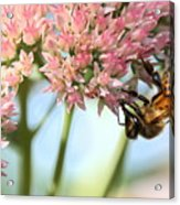 Honey Bee 2 Acrylic Print