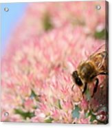 Honey Bee 3 Acrylic Print