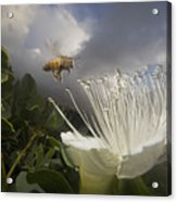 Honey Bee Apis Mellifera Approaching Acrylic Print by Mark Moffett