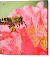 Honey Bee In Flight Acrylic Print
