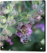 Honey Bee Acrylic Print