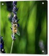 Honey Bee On Flower #5 Acrylic Print