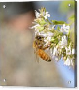 Honey Bee On Herb Flowers Acrylic Print