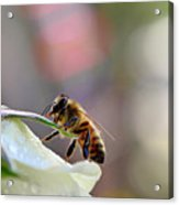 Honey Bee Visiting White Rose Acrylic Print