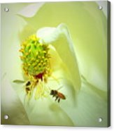 Honey Bees And Magnolia II Acrylic Print