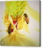 Honey Bees And Magnolia Acrylic Print