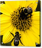 Honey Bees Acrylic Print